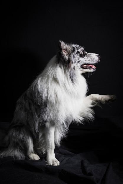 Portrait de mignon chien border collie Photo gratuit