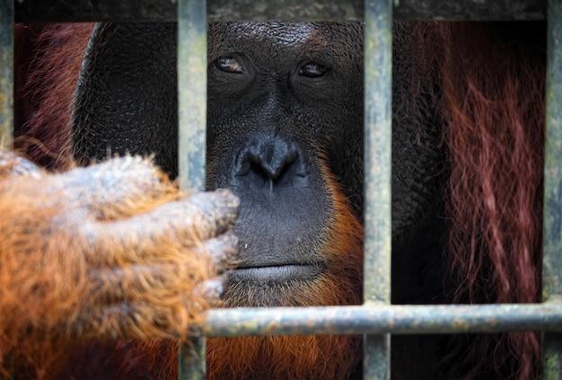Portrait d'orangutang en cage Photo Premium