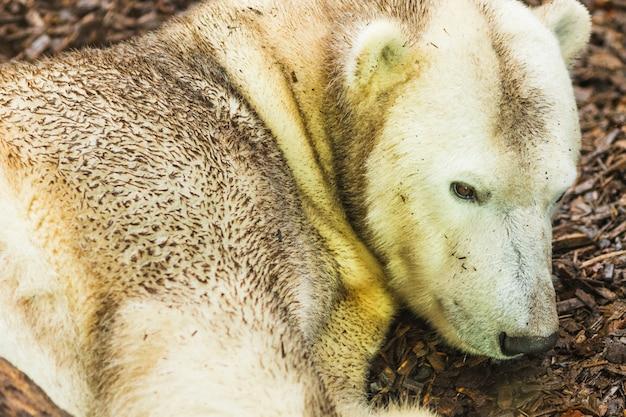 Portrait d'ours polaire gisant sur le sol Photo Premium
