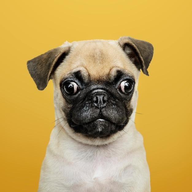 Portrait solo de chiot carlin adorable Photo gratuit