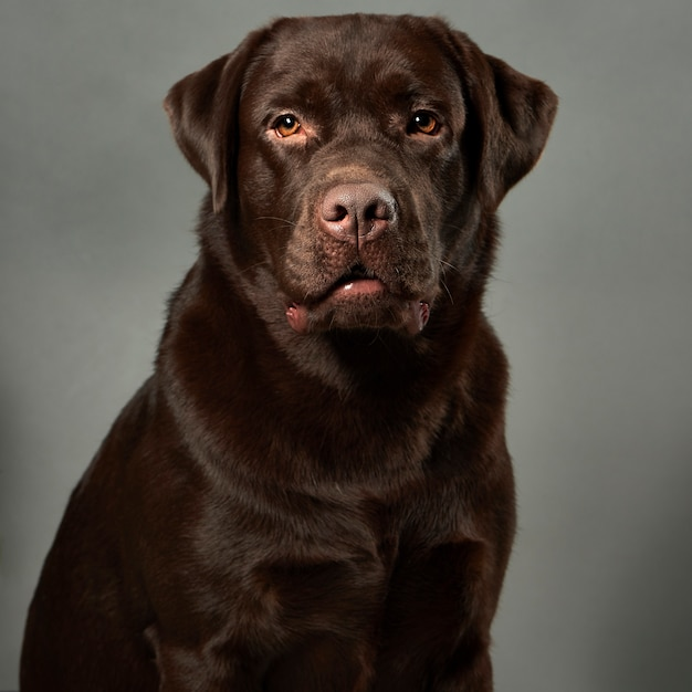 Portrait de studio labrador retriever Photo Premium