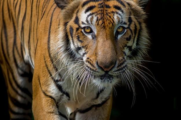 Portrait de tigre devant un fond noir Photo Premium