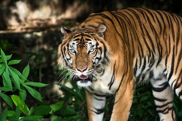 Portrait de tigre Photo Premium