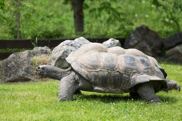 Portrait de tortue des galapagos et d'herbe verte Photo Premium