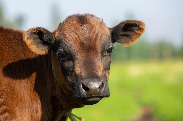 Portrait d'un veau Photo Premium