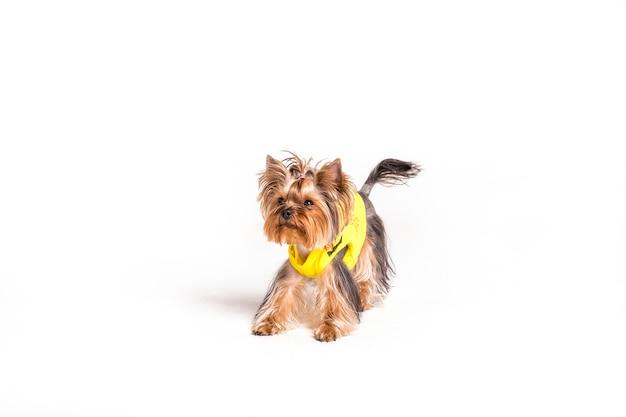 Portrait D'yorkshire Terrier Isolé Sur Fond Blanc Photo gratuit