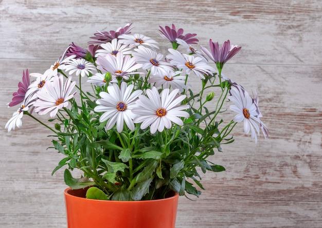 Pot de fleurs avec marguerites violettes belle Photo Premium