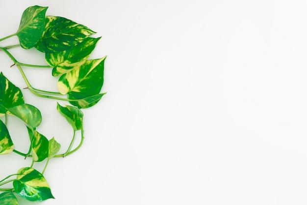 Pothos d'or ou lierre du diable ou epipremnum aureum, feuilles de vigne en forme de cœur sur fond blanc avec espace de copie pour votre texte Photo Premium