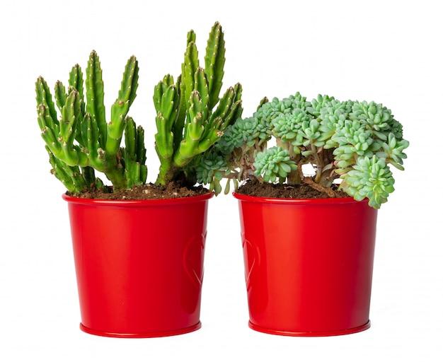 Pots de plantes succulentes isolées Photo Premium