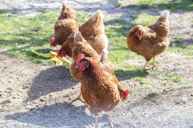 Poules brunes piquant le sol à l'intérieur du corral Photo Premium