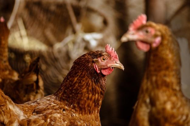 Poules dans une ferme bio, poulet dans un poulailler Photo Premium