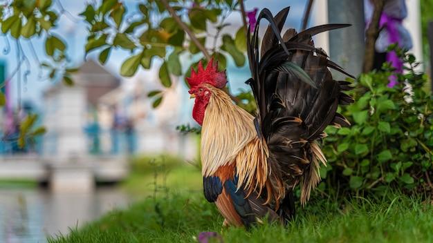 Poulet sur champ d'herbe Photo Premium
