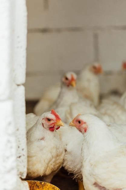 Poulet moyen en enclos Photo gratuit