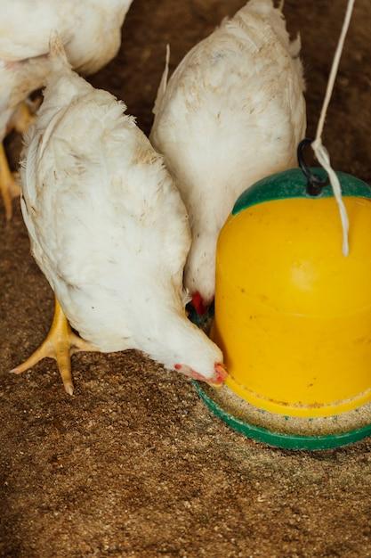 Poulet moyen en train de manger à la plume Photo gratuit
