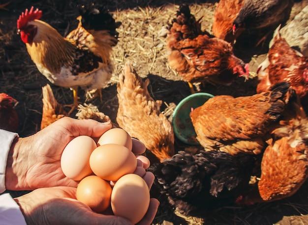 Poulet oeufs domestiques dans les mains. mise au point sélective. Photo Premium