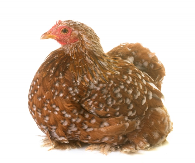Poulet pekin en studio Photo Premium