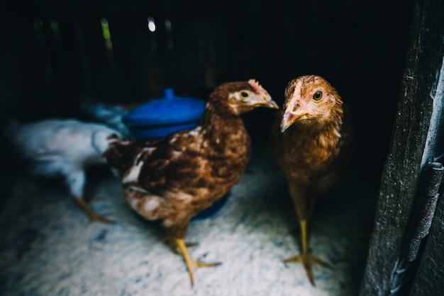 Poulets Dans La Coop Photo gratuit