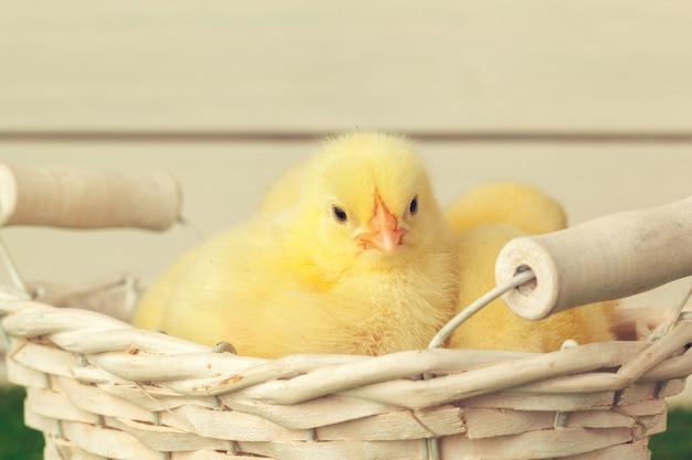 Les poulets jaunes se bouchent Photo Premium