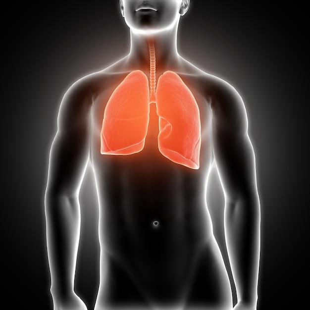 Poumons Photo gratuit