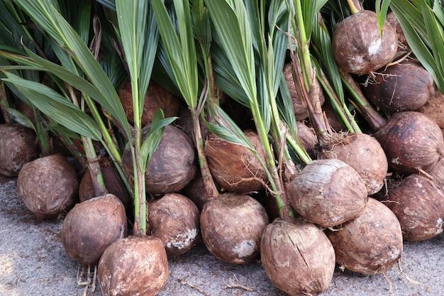 Pousse de cocotier Photo Premium
