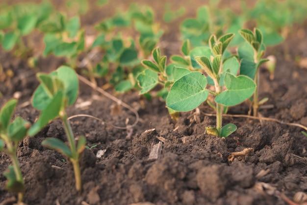 Pousses de haricots verts sur le champ se bouchent Photo Premium