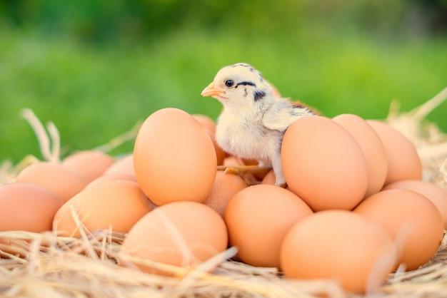Poussins debout sur des œufs de poule de bonne qualité avec de la paille sur la table Photo Premium