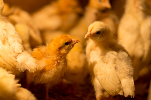Poussins Mignons Sur Un Poulailler Photo Premium