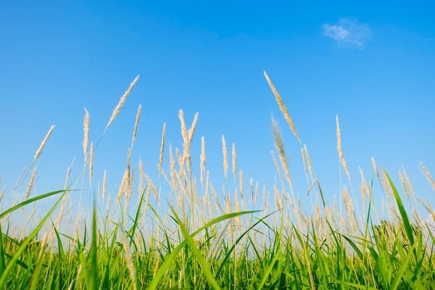 Prairie Verte Avec Des Fleurs D'herbe Brune Sur Fond De Ciel Bleu. Herbe Verte Et Fleur De La Forêt En été En Thaïlande. Photo Premium