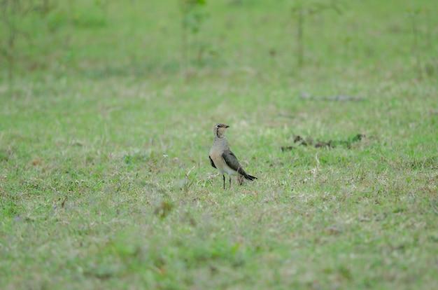 Pratincole Orientale (glareola Maldivarum) Debout Sur Un Sol Photo Premium
