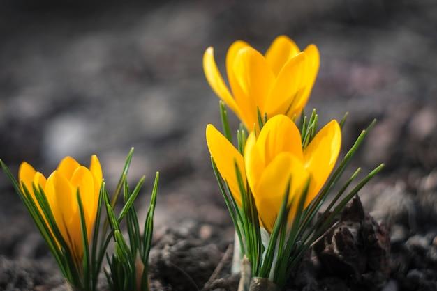 Premières Fleurs Du Printemps. Crocus Jaunes Photo Premium