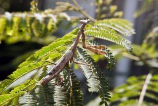 Prier insectes mante religieuse Photo gratuit