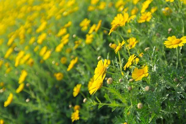 Printemps avec de belles fleurs jaunes Photo Premium
