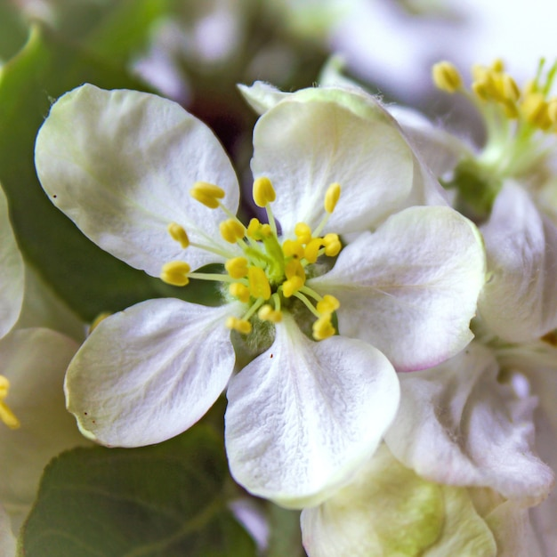 Printemps pommier fleurs blanches Photo Premium
