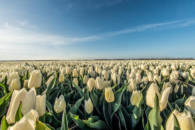 Prise De Vue à Angle élevé Hypnotique D'un Champ De Tulipes Blanches Sous La Lumière Du Soleil Photo gratuit