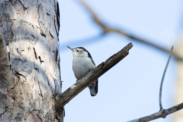 Prise De Vue à Faible Angle D'un Bel Oiseau Sittelle à Poitrine Blanche Reposant Sur La Branche D'un Arbre Photo gratuit