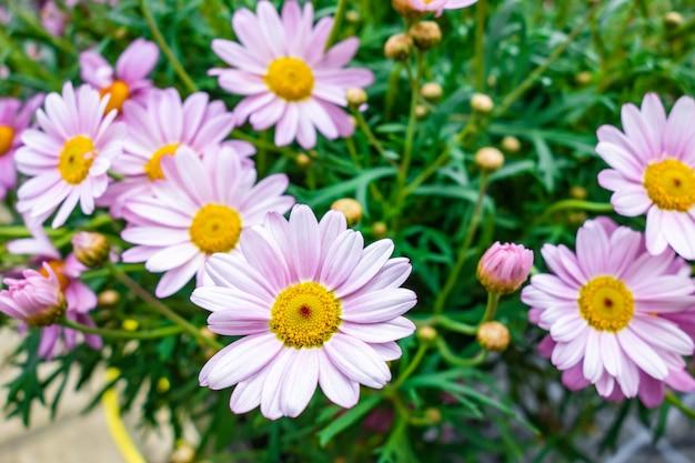 Prise De Vue En Grand Angle De Belles Fleurs Marguerite Daisy Capturées Dans Un Jardin Photo gratuit