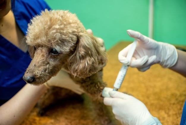 Le Processus D'introduction D'un Animal Dans L'anesthésie Photo Premium