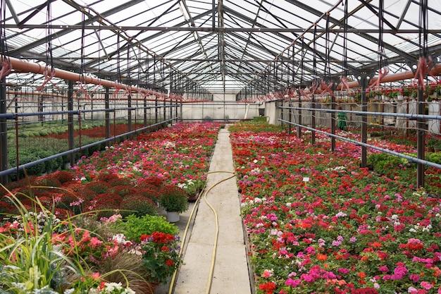 Production Et Culture De Fleurs. De Nombreuses Fleurs De Chrysanthème Dans La Serre. Plantation De Chrysanthèmes Photo gratuit