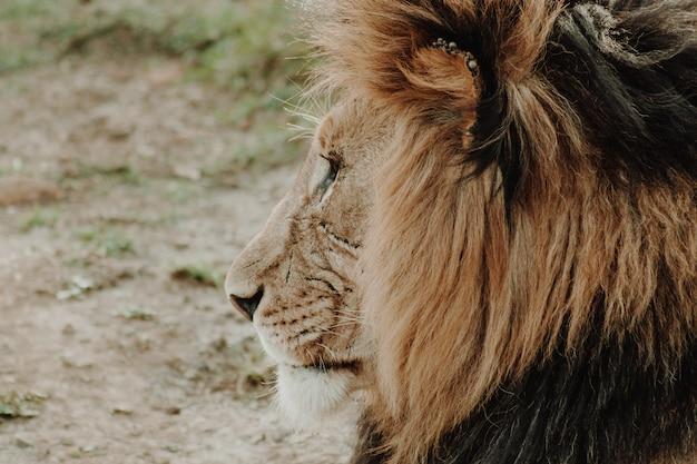 Profil Gros Plan Du Lion Mâle Photo gratuit