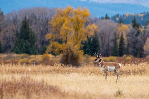 Pronghorn Dans Un Golden Meadow En Automne Photo Premium