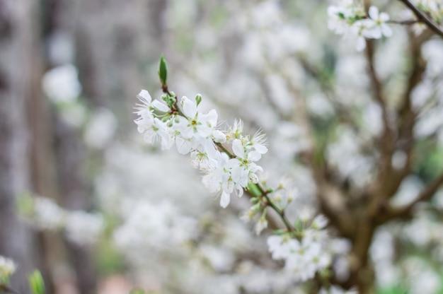 Prune blanche belle et mignonne petite fleur. Photo Premium