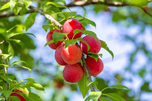 Prune Cerise Mûre Sur Une Branche D'arbre. Photo Premium