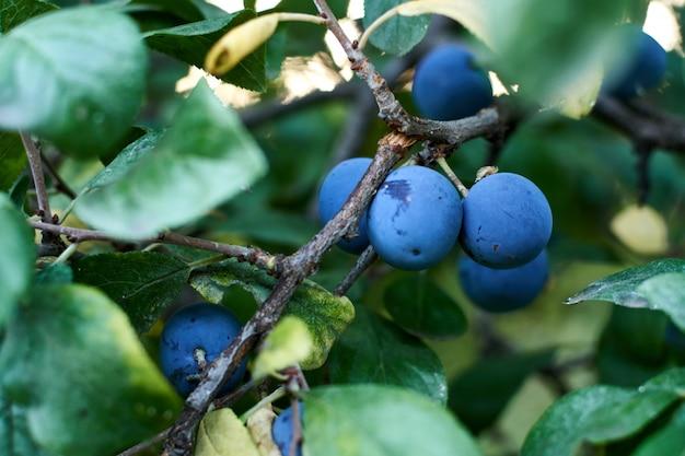 Prunes bleues sur l'arbre. Photo Premium