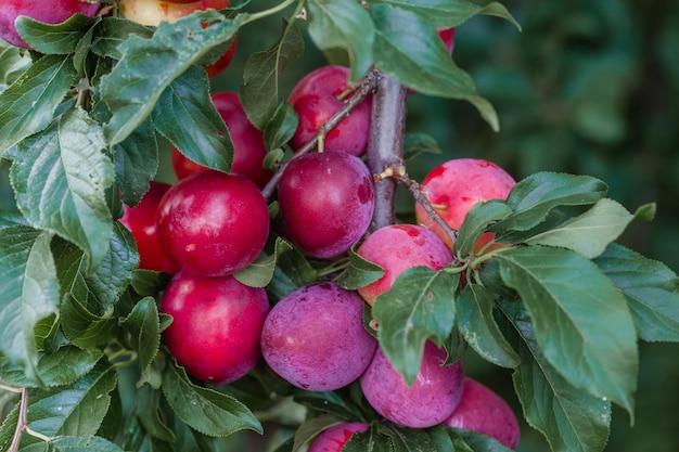 Prunier avec de grandes grosses prunes rouges Photo Premium