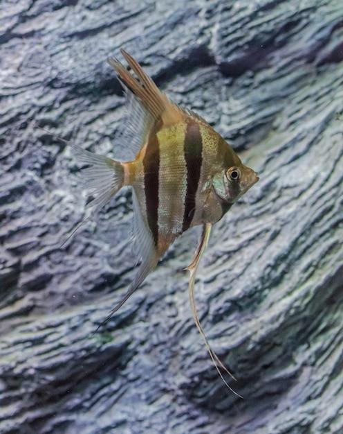 Pterophyllum scalare. poisson-ange nageant avec des rochers Photo Premium