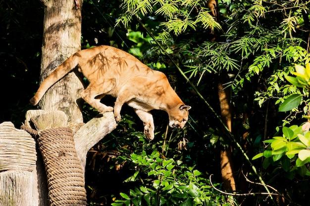 Puma face à l'état sauvage Photo Premium