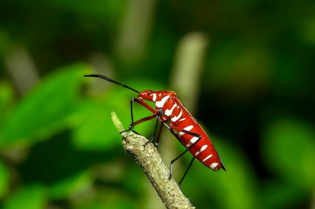 Punaise rouge en coton sur les branches Photo Premium