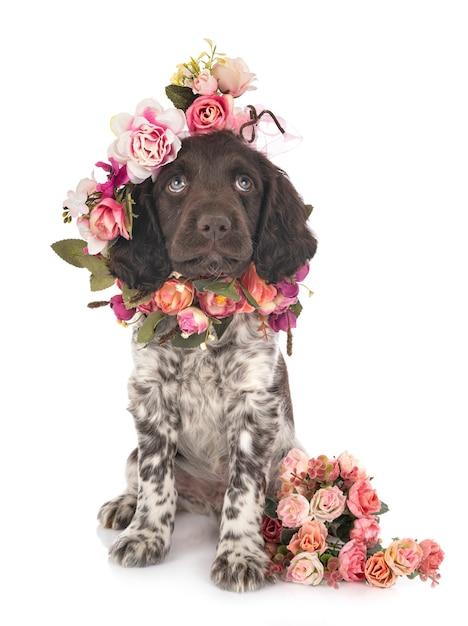 Puppy Small Munsterlander Photo Premium