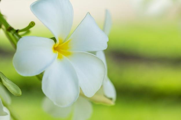 Pureté de fleurs de plumeria ou de frangipanier blanches. Photo Premium
