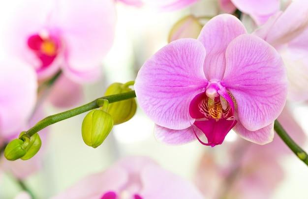 Purple phalaenopsis orchidée fleur Photo gratuit